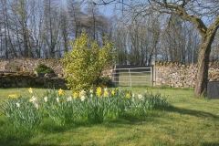 Picture of field with daffodils